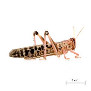 Locusta adulta - Insetti da pasto