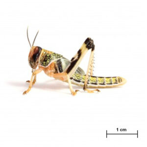 Locusta Gregaria Sub Adulta-Insetti vivi